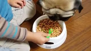 パグ犬ムゥに子供がスプーンで御飯を食べさせようとしています。でもム...