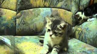 Котята, 1,5 месяца, продажа, г. Запорожье