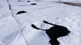 Cattle ranchers hit hardest in S.D. blizzard