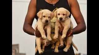 guwahati dog farm video pets house 8876962444