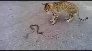 ЗМЕИ УБИЙЦЫ. ПИТОН СОЖРАЛ КОРОЛЕВСКУЮ КОБРУ НА ОБЕД - YouTube | кобра змеи видео