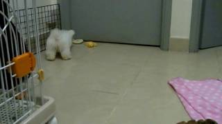 Maltese Puppy Afraid Of The Red Ball - 10 Weeks Old