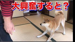 柴犬をのせるとこんな感じになります。 こんな柴犬ハナ、猫クロが見たい...