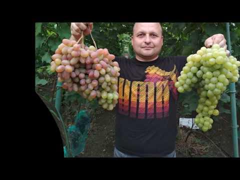 Виноград - Сенсация (2018)