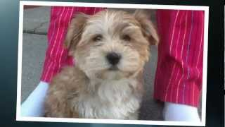 Morkie Puppies - Maxx's BIG day - Morkie Puppy