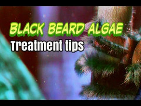 Emboli: Black Beard Brush Algae Control And Treatment Made Easy
