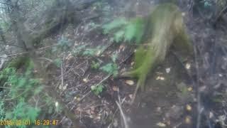 Охота на барсука, проверка нор и постановка капканов