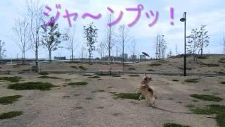 かわいい日本犬がフリスビーに挑戦~!!!