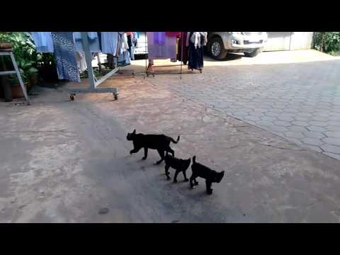 Funny cats in Cambodia. Kittens with no tails like Manx cats.