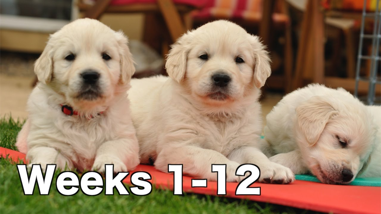 Golden Retriever Puppy Dogs Growing Weeks 1 12 Youtube