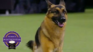 Best of Breed Minute: The German Shepherd Dog