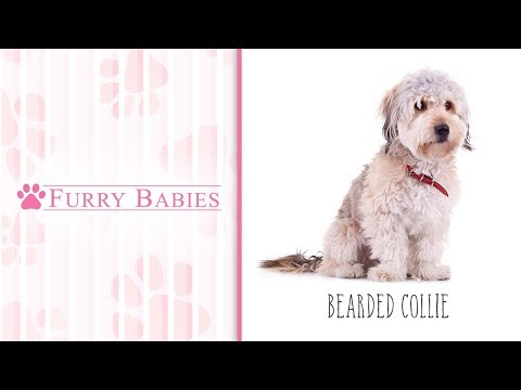 Is the  Bearded Collie the right breed for you?