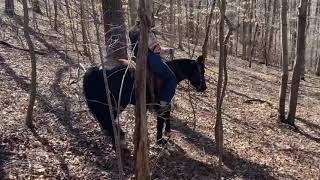 Ace, well broke gaited trail gelding for sale $3,500