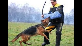 Pro Dog Training | Dog Attack Gun! Man | Dog Training Video