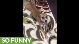 Clever pup plays dead to avoid bedtime