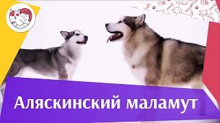 Аляскинский маламут   О породе на iLikePet