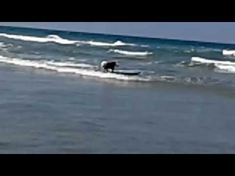 Amazing! This dog is surfing