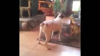 Buckley a Brittany spaniel doing tricks