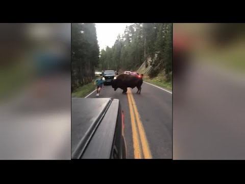 Suspect caught on video harassing bison in Yellowstone National Park arrested