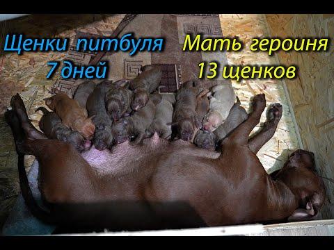 Щенкам питбуля Кияры 7 дней. Питбуль, щенки, pitbull.