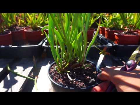 Carniplant -Plantas carnivoras -Cultivo de Sarracenia leucophylla en verano