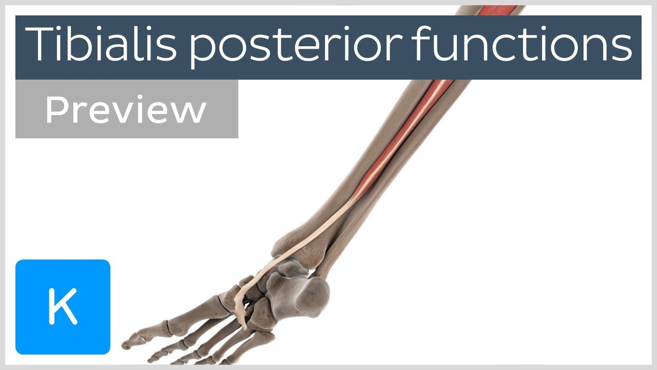 Functions Of The Tibialis Posterior Muscle Preview 3d Human
