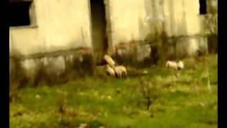 свинья родила 19 поросят.mp4