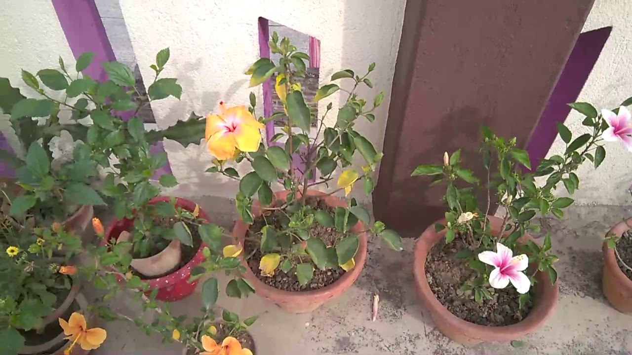 Hibiscus flower plant care bengali youtube hibiscus flower plant care bengali izmirmasajfo Image collections