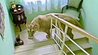 10 Wild Animals Invading People Homes