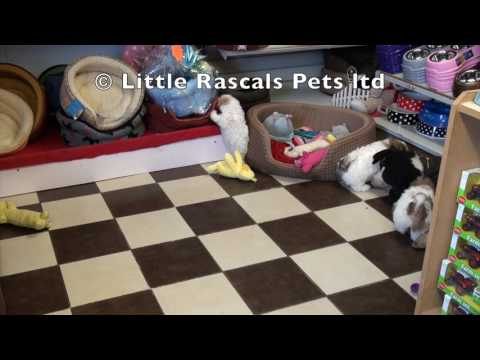 Little Rascals Uk breeders New litter of malshi puppies -