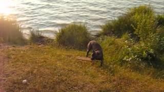 My Bandog Tygo  Pitbull X Cane Corso / Bullmastiff / Rottweiler Swimming Gone Crazy