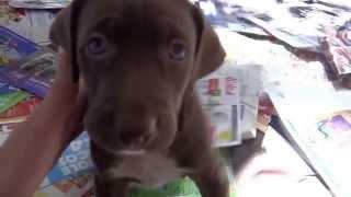 Liv-weimaraner Mix Puppy