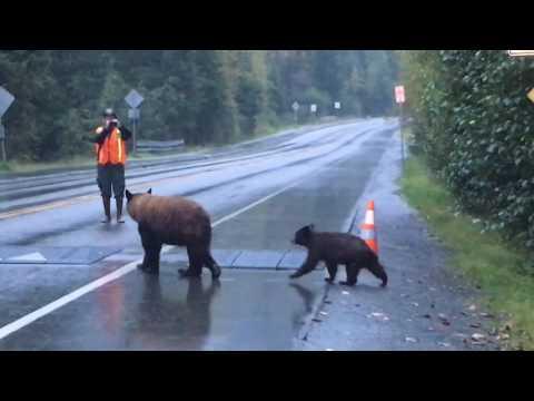 Mendenhall Glacier Black Bears - Juneau Alaska