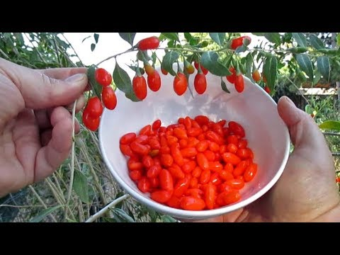 Picking Fresh Goji Berry For Eating Harvesting Seed Youtube