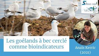 Sciencez-vous!: «Les goélands à bec cerclé comme bioindicateurs»