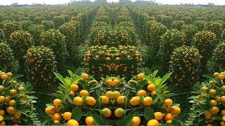 How to Harvest Orange ? - Orange Juice Processing & Orange Factory