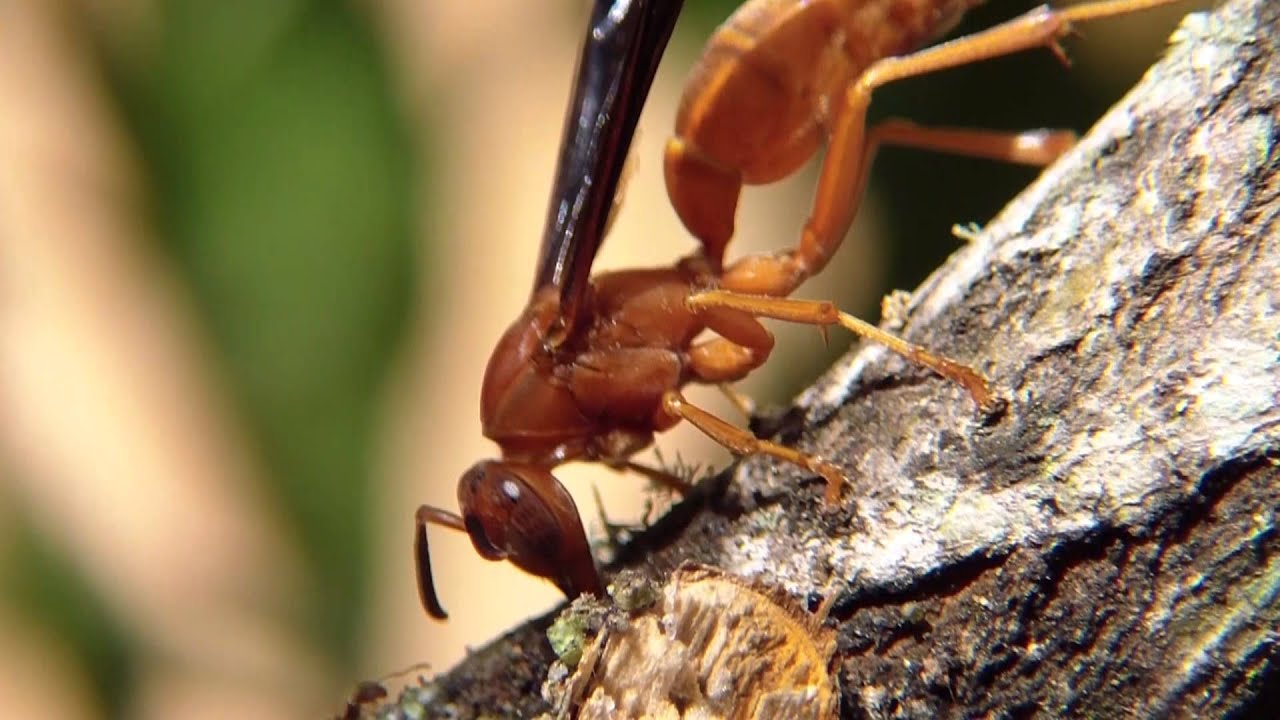 The Beautiful Red Wasp Florida In Your Backyard 1080p