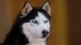 Dogs ,pets ,siberian Husky Breed The History,husky Seld Dogs  .part 1 .husky Siberiano