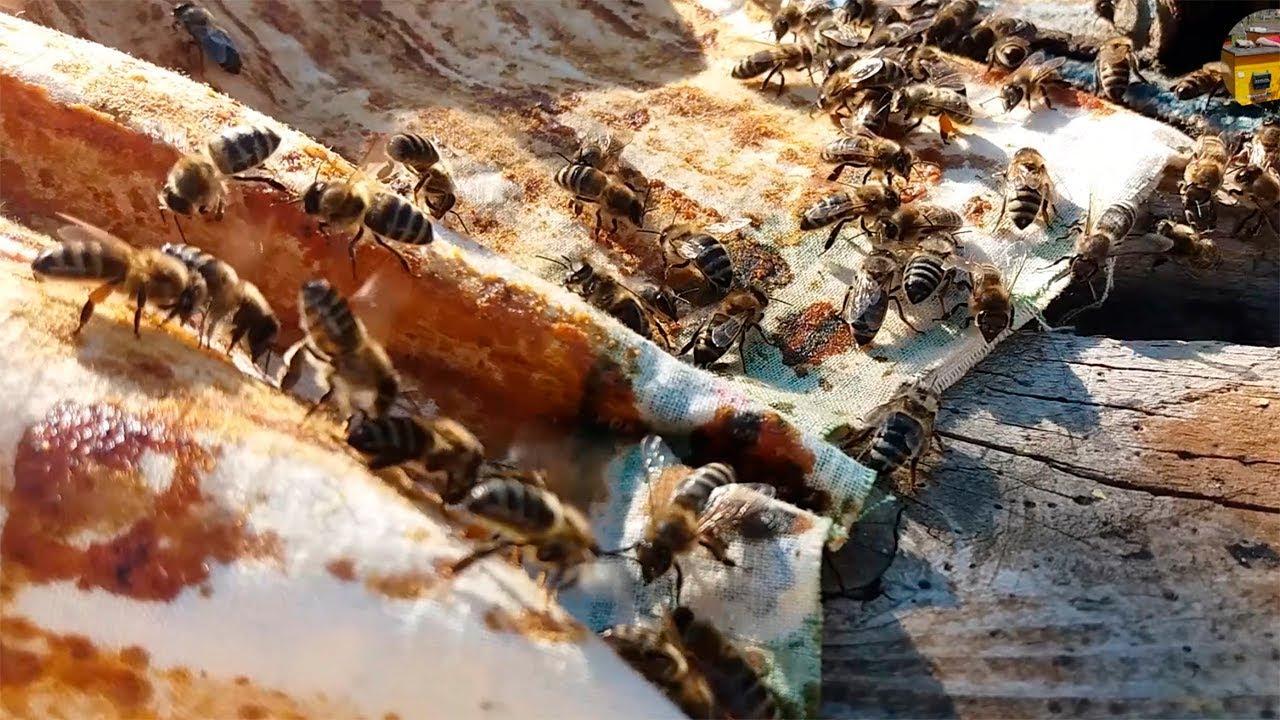 пчелы делают прополис
