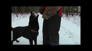 Защитно-караульная служба, собака-телохранитель(Дрессировка восточно-европейской овчарки по приучению охране хозяина., 2011-11-20T06:08:25.000Z)