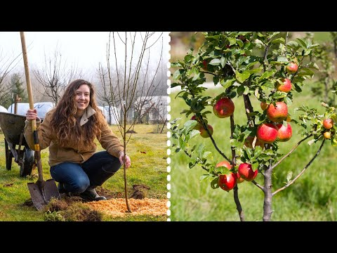 How to Plant Fruit Trees for MAXIMUM Growth and Harvest