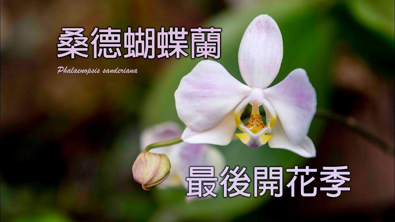 桑德蝴蝶蘭 最後的花季!! 夏天的蝴蝶蘭之一 /蘭花 「原來是這樣子」