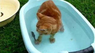 Курильский бобтейл: рыбалка или купание?