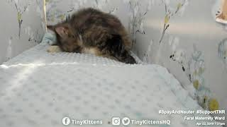 Feral cat Serenity giving birth for the last time  TinyKittens.com