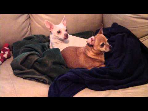Silly Funny Chihuahuas