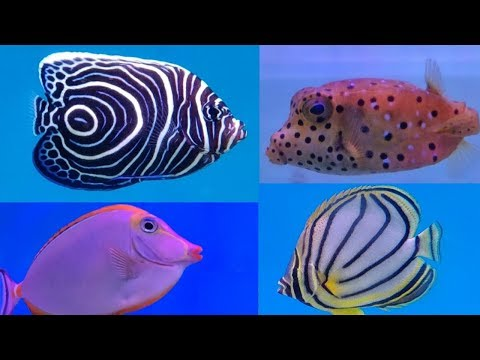 Clown Fish, Angel Fish, Butterfly Fish, Marine Fish Price In India