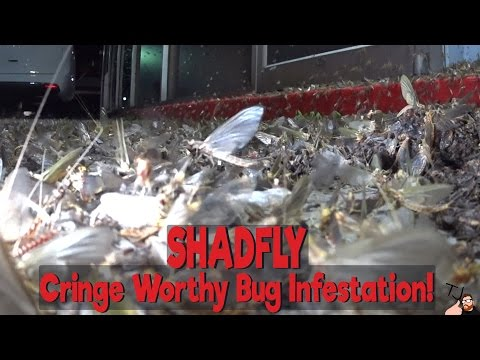 What Is A Shadfly, Mayfly, Fishfly And Where Do They Come From?