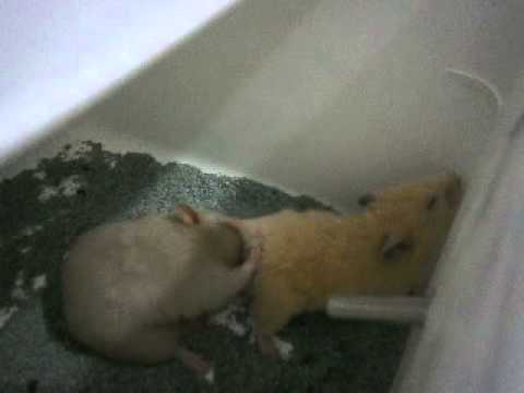 Hamster Kawin