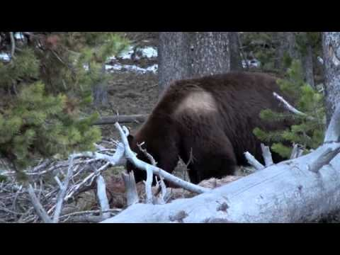 Yellowstone Grizzly eats a deer carcass
