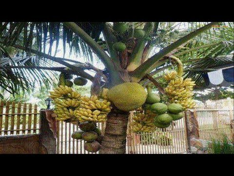 WOW! Strange coconut trees - Amazing Agriculture Technology